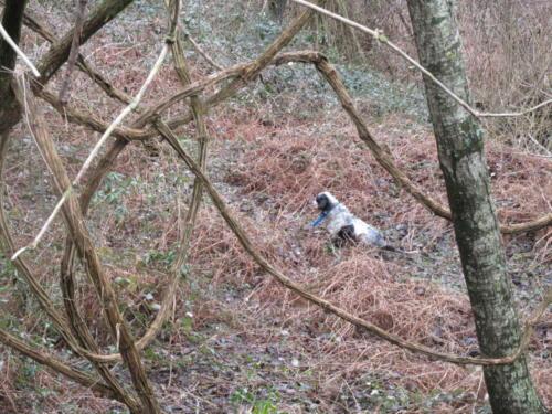 goccia delle querce merizie nel suo ambiente naturale